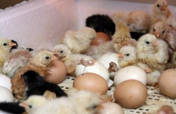 τα κοτόπουλα εκκολαφθούν από αυγά