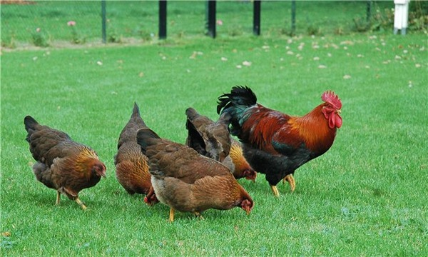 Κοτόπουλα στο τρέξιμο
