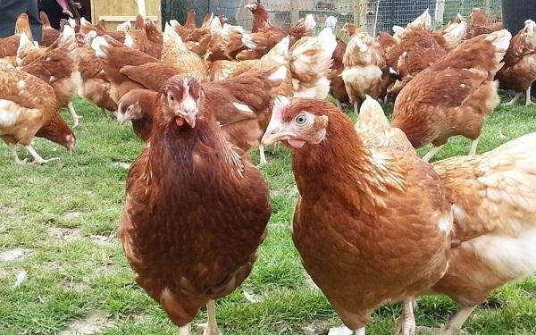 κοτόπουλα ροδονίτη