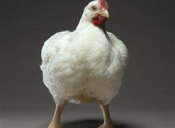 Cobb Κοτόπουλα 500