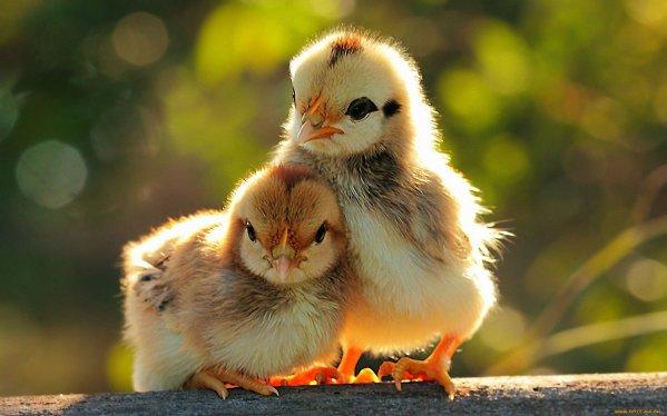 αυξανόμενων κοτόπουλων στο σπίτι