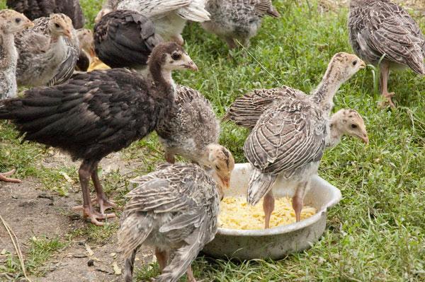 Τουρκία poults