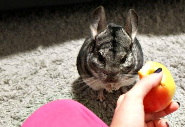 Πώς και τι να τροφοδοτήσει τα τσιντσιλά στο σπίτι