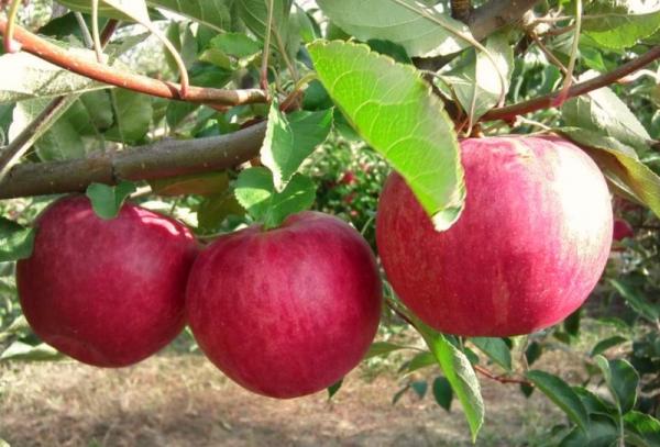 Apple ποικιλίες δέντρων Δόξα στους νικητές: περιγραφικά χαρακτηριστικά
