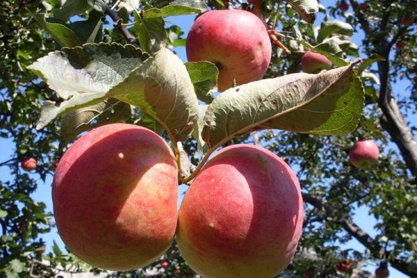 Zhigulevskoe ποικιλίες μήλων: περιγραφικά χαρακτηριστικά, ιστορία επιλογών