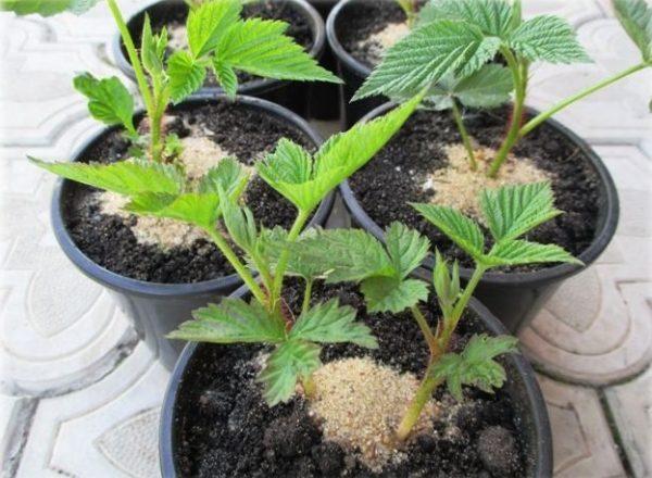 Αναπαραγωγή σμέουρων: τρόποι και μέθοδοι, χαρακτηριστικά φύτευσης φυτά