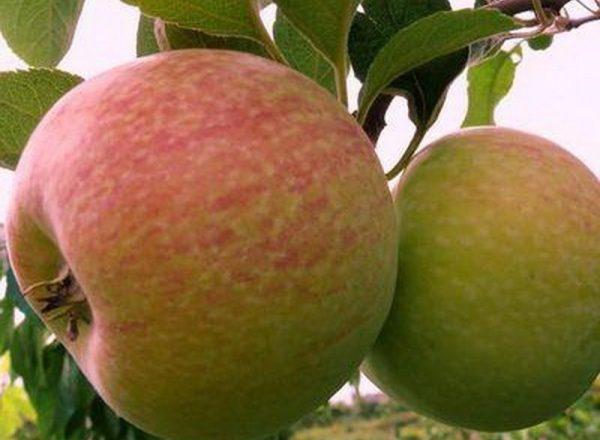 Η ποικιλία των μήλων Candy: περιγραφικά χαρακτηριστικά, κανόνες φύτευσης και φροντίδας