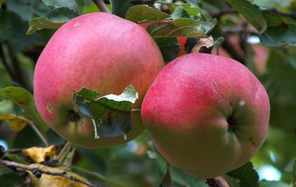 Τα μήλα εισέρχονται