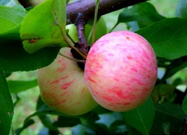 Μήλα αχλάδι
