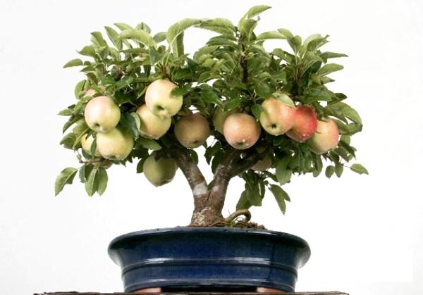 Πώς να μεγαλώσετε μια μηλιά από τους σπόρους στο σπίτι: οδηγίες