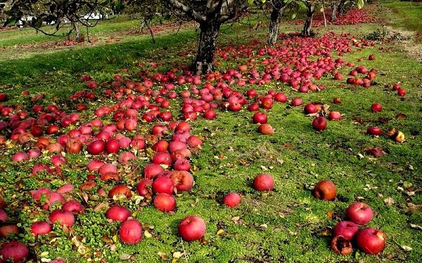 Αιτίες της πτώσης του μήλου