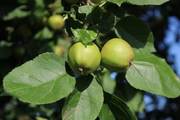 Τι μπορεί να γίνει και πώς να εφαρμόσετε τα άγρια μήλα;
