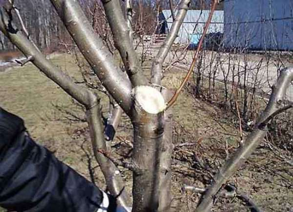 Κλάδεμα μήλο