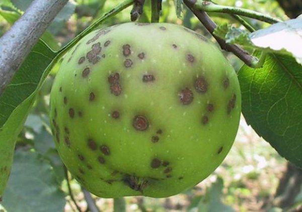 Scarred Apple