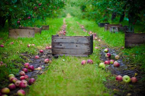 Πώς και πότε να συλλέγετε μήλα για αποθήκευση για το χειμώνα: συμβουλές