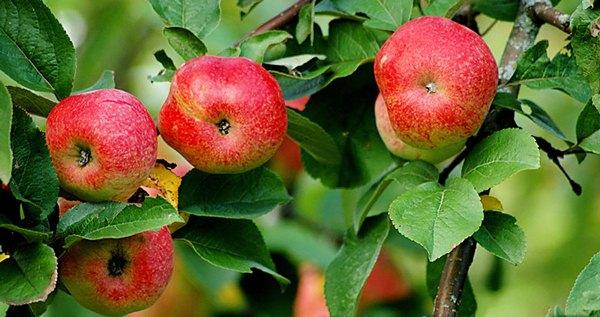 Apple δέντρο Bellefle κινέζικα