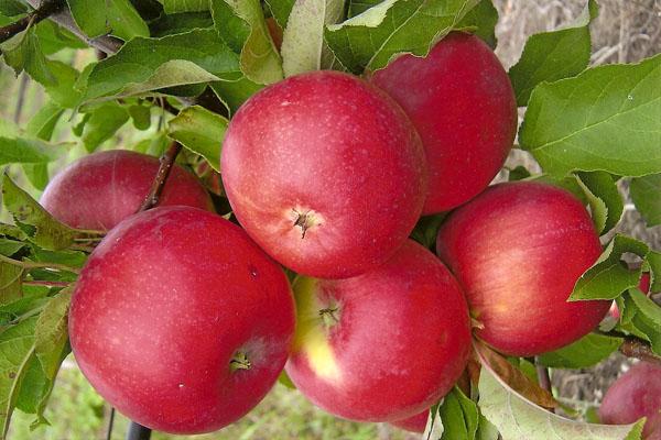 Φρούτα της Apple Tree Welsey