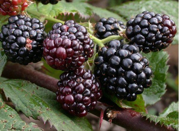 Blackberry tornfree