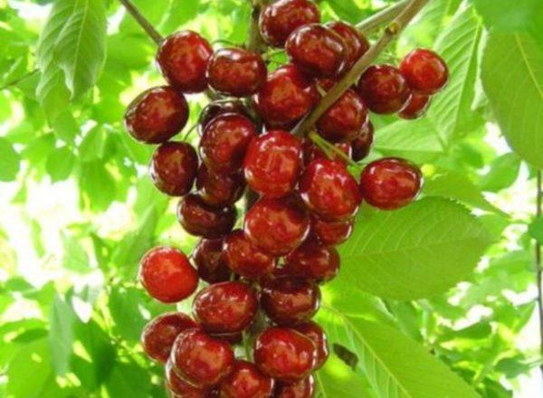 Αποικία Cherry