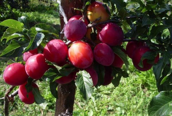 Ural Red ποικιλία δαμάσκηνου: περιγραφή δέντρων, φύτευση και φροντίδα, έλεγχος παρασίτων και ασθενειών