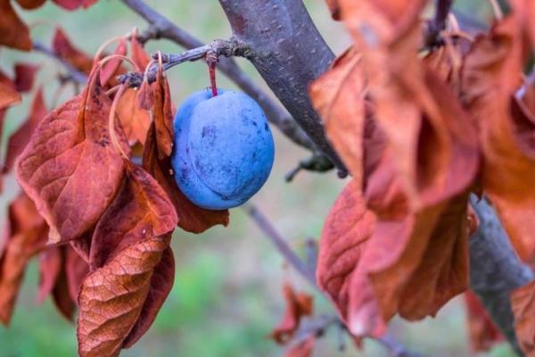 Η σωστή φροντίδα των δαμάσκηνων το φθινόπωρο: τα απαραίτητα μέτρα