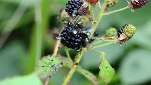 Μύγες σε βατόμουρο