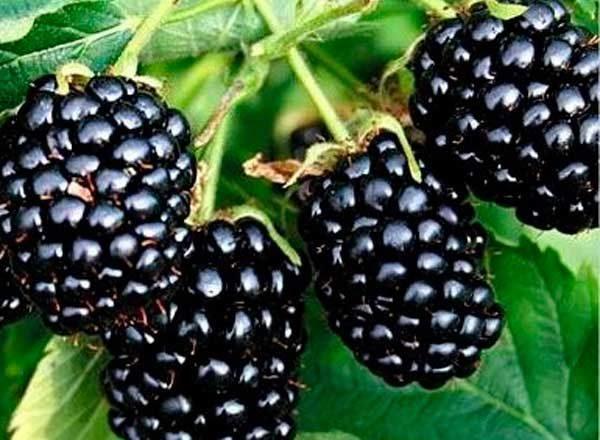 Blackberry Natchez