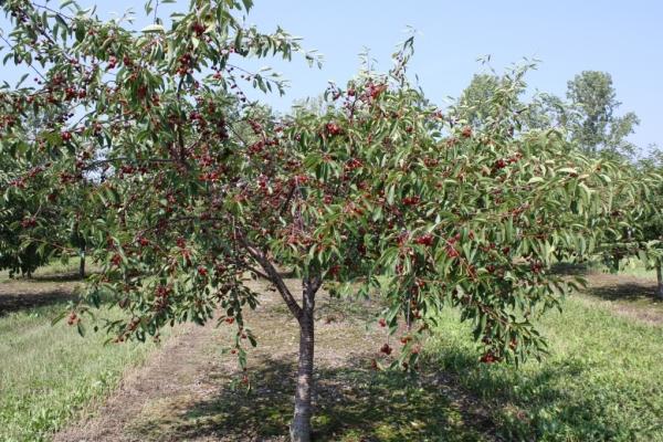 Φύτευση κεράσια το φθινόπωρο, φροντίζοντας για δέντρα, χρήσιμες συστάσεις