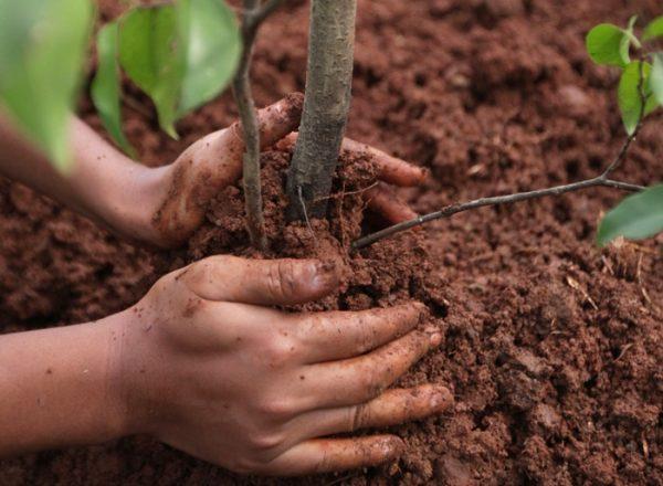 Πώς και πότε είναι καλύτερο να φυτέψετε και να τοποθετήσετε εκ νέου την αποχέτευση: έναν οδηγό βήμα προς βήμα για τη φύτευση και τη φροντίδα
