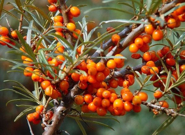 Θαλασσινό δέντρο