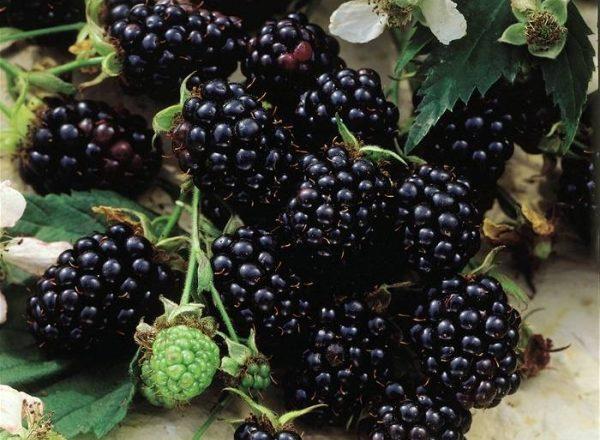 Blackberry ποικιλίες Chester: περιγραφή και προδιαγραφές, συμβουλές για φύτευση και φροντίδα