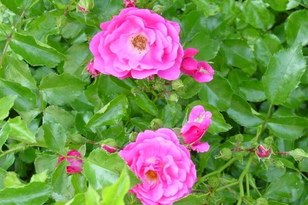 Φύτευση άγριο τριαντάφυλλο, φροντίδα του φυτού, μέθοδοι αναπαραγωγής