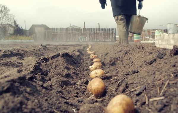 Φύτευση πατάτας στην περιοχή του Λένινγκραντ