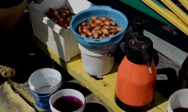 Βγάλτε τα κρεμμύδια πριν φύτεψετε