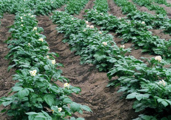 Φύτευση πατάτας στις κορυφογραμμές