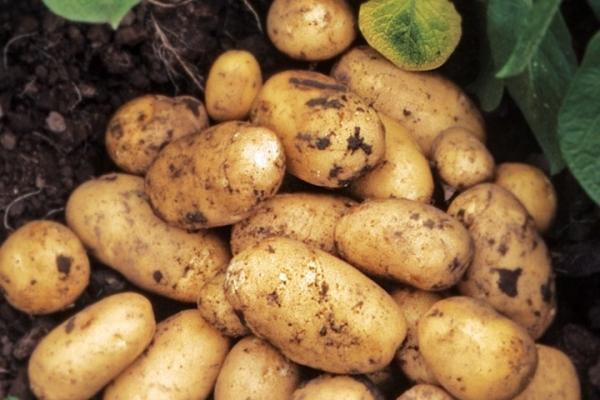 Περιγραφή και χαρακτηριστικά της ποικιλίας πατάτας Adretta, συμβουλές για φύτευση και φροντίδα