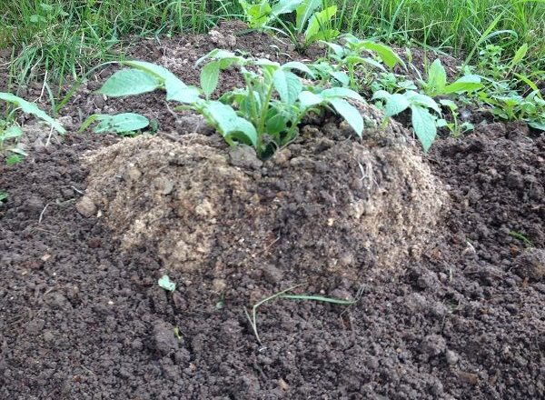 Καλλιέργεια πατάτας με κινεζική τεχνολογία