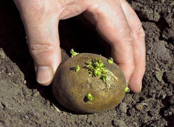 Επεξεργασία κονδύλων πατάτας μέσω του Διοικητή