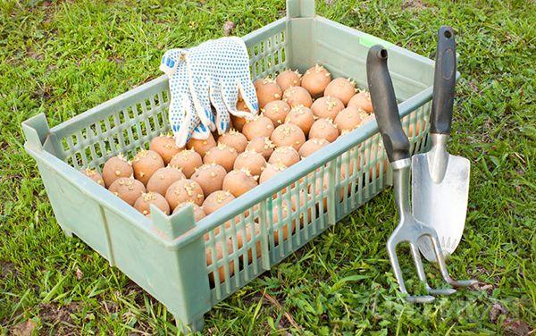 Πατάτες πριν από τη φύτευση