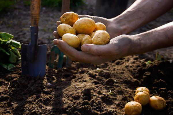 Όροι φύτευσης πατάτας