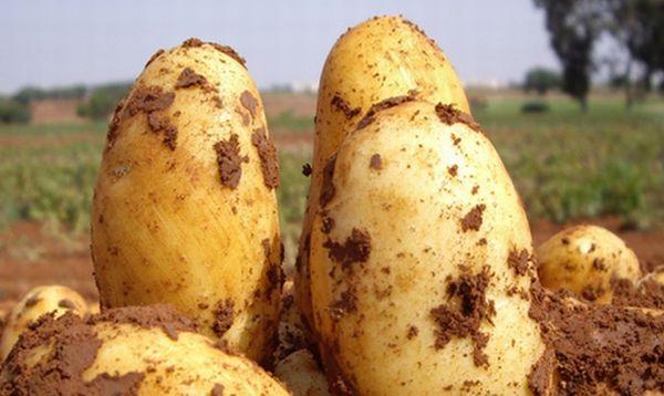 Περιγραφή των ποικιλιών πατάτας Uladar