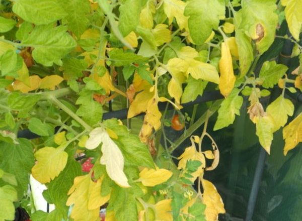 Γιατί τα φύλλα των ντοματών γίνονται κίτρινα