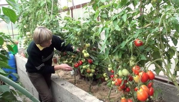 Φροντίδα ντομάτας