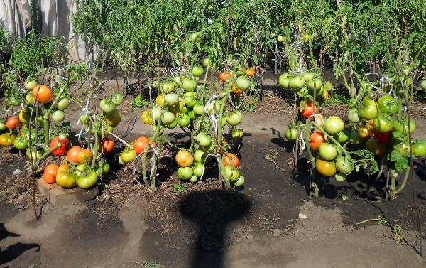 Καλλιέργεια ντοματών σύμφωνα με τη μέθοδο του Ι. Μασλόφ
