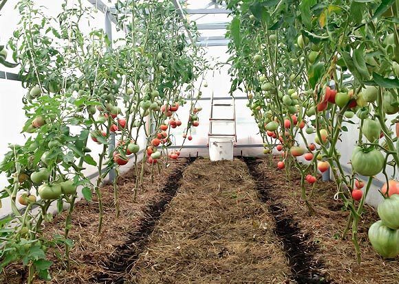 Τομάτες σποράς