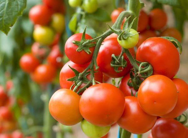 Τι μπορεί να φυτευτεί μετά από τομάτες