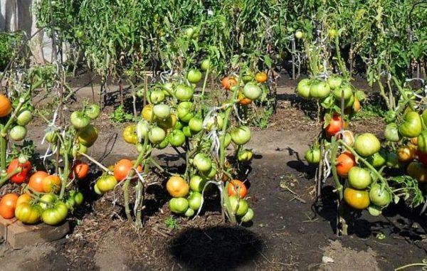 Μην ανεχτείτε απότομα ντομάτες από τη σκιά στον ήλιο