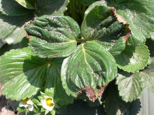 Η κάμψη του φύλλου μπορεί να υποδεικνύει έλλειψη καλίου.