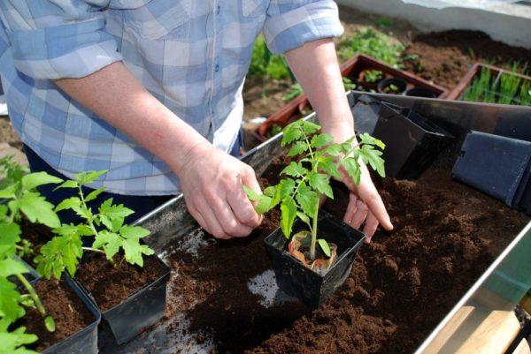 Φροντίδα για τα φυτά τομάτας