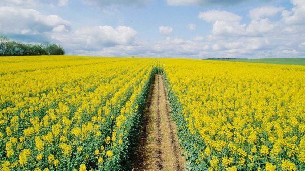 Η κανολαία ως σίδηρο συχνά φυτεύεται σε χωράφια